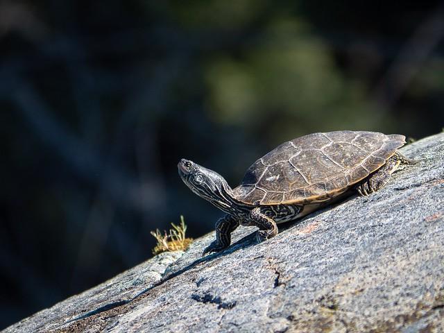 Northern Map Turtle, Olympus E-M5MarkII, Lumix G Vario 100-300mm F4.0-5.6 Mega OIS