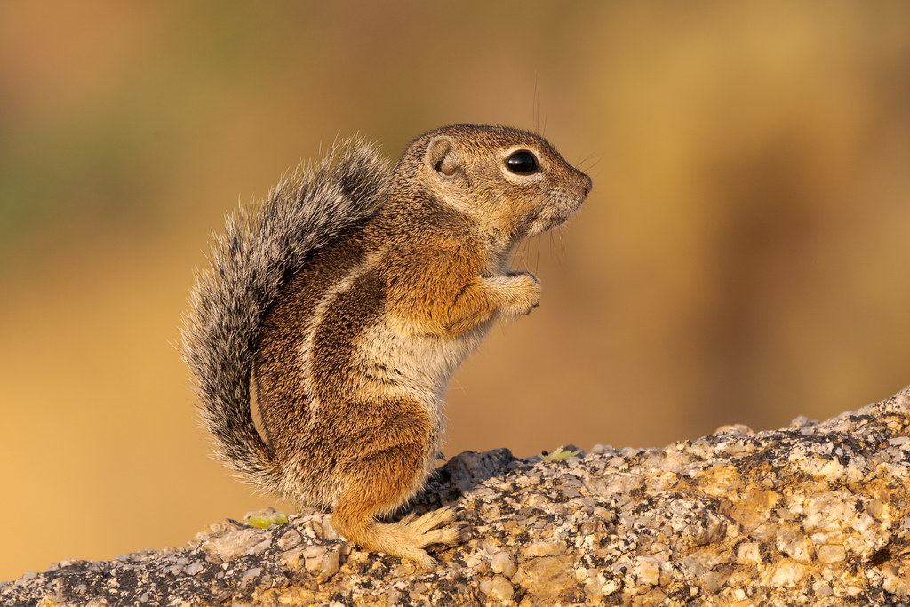 A side view of a Harris's antelope squirrel standing on a granite boulder with its tail curved along its back