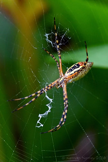 BANDED ARGIOPE 6