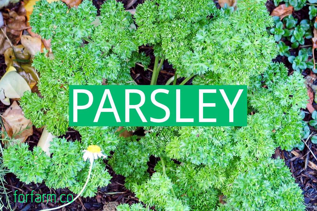 พาร์สลี่ย์ (Parsley)