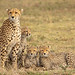 Maasai Mara Cheetah and cubs! by ilana.block