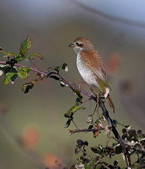 Red Backed Shrike (Juvenile)a