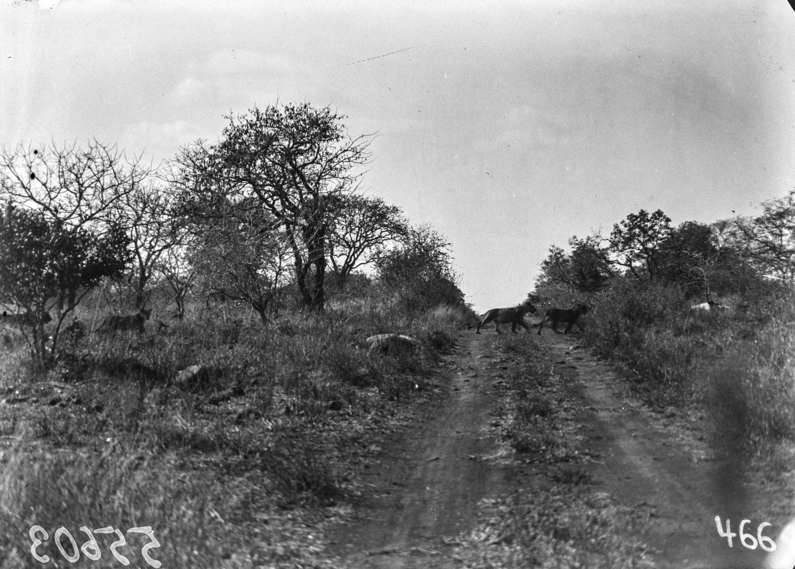 Нижняя Саби. Львы переходят дорогу