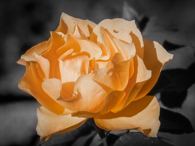 365.270 - Vintage rose, Olympus E-30, SIGMA 105mm F2.8 MACRO