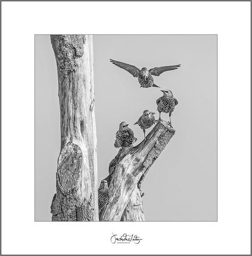 Starlings in B&W.