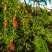 pine cones2