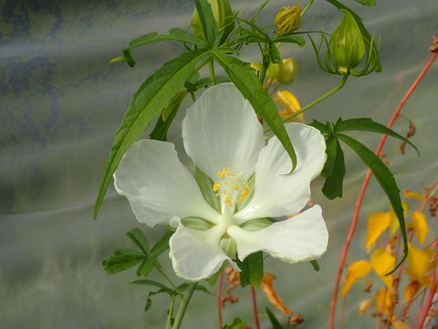 Hibiscus coccineus Texas White