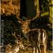 Fallow deer Male - Mature buck / Dama dama - Taken at Bradgate Park Northwest of Leicester - UK