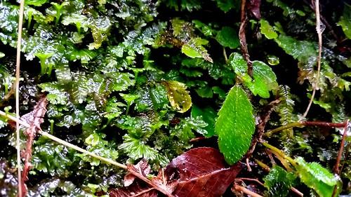 Filmy Fern - Hymenophyllum cupressiforme and Australina pusilla leaf