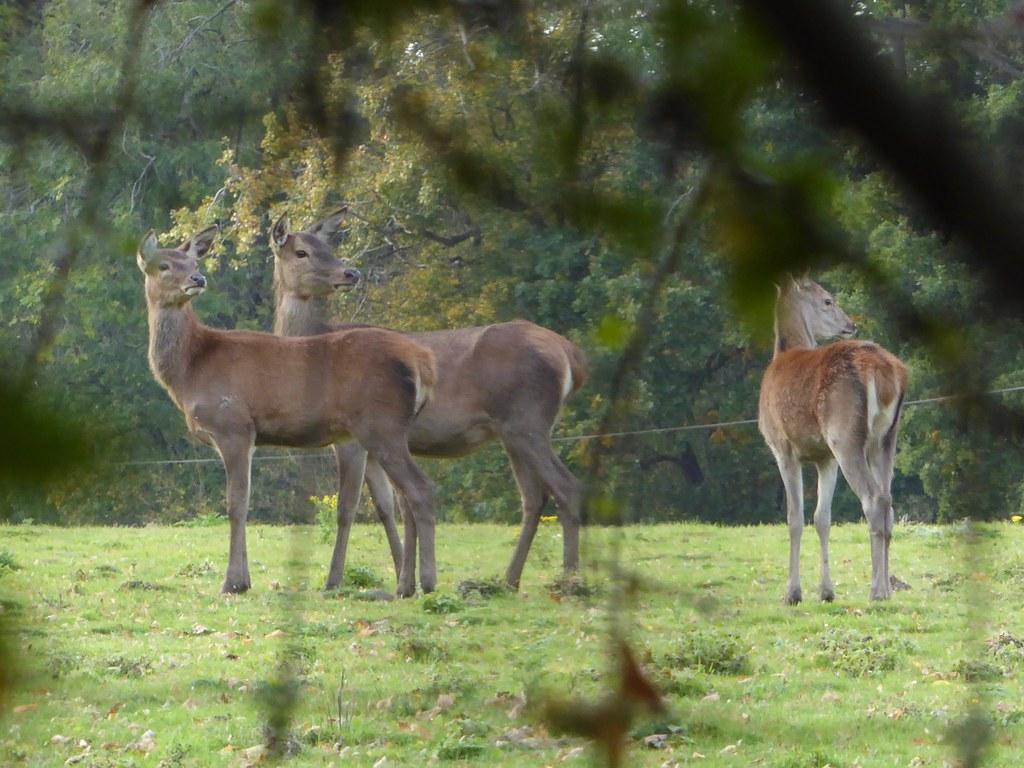 Fallow deer, Knepp Wildlands
