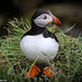 Iceland_Puffin-5 by Lothar Heller