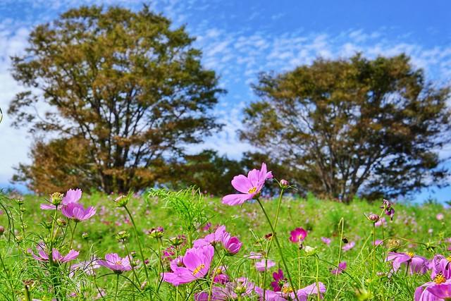 国営昭和記念公園〜コスモスまつり〜秋桜の丘