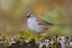 White-crowned Sparrow.