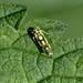 Potato Leafhopper --- Eupteryx aurata