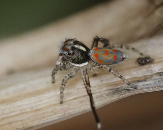 little bit of blue..little bit of brown..maratus