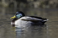 Image by Sylvain Prince (sylvain_prince) and image name Canard colvert ♂ Mallard duck photo  about La perfection! Pas ma photo, mais ce canard Colvert!!! L'iridescence des plumes de sa tête était extraordinaire sous cette douce lumière du matin. Les teintes vont du vert au bleu. ----------------------------------------- The perfection! Not my photo, but this Mallard duck!!! The iridescence of the