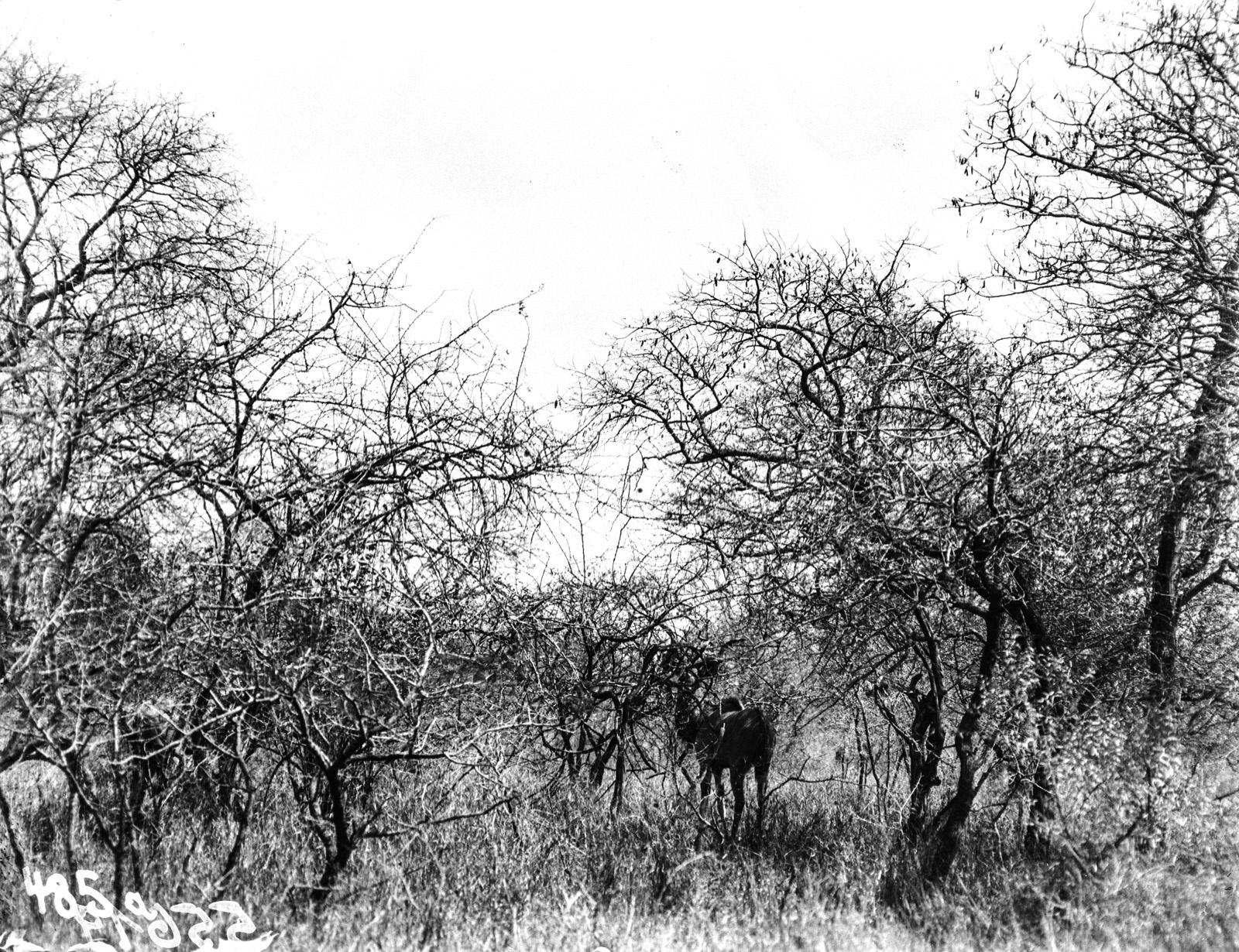 Национальный парк Крюгера. Куду в кустах