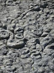 Ammonites (Coroniceras multicostatum) - Dalle aux Ammonites (Digne-les-Bains, Francia) - 16