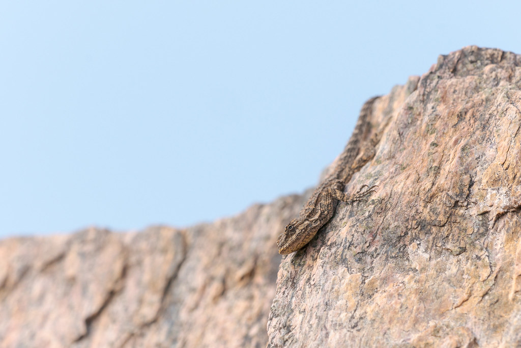An ornate tree lizard climbs face first down a rock face along the Piestewa Peak Summit Trail in Phoenix Mountains Preserve in Phoenix, Arizona