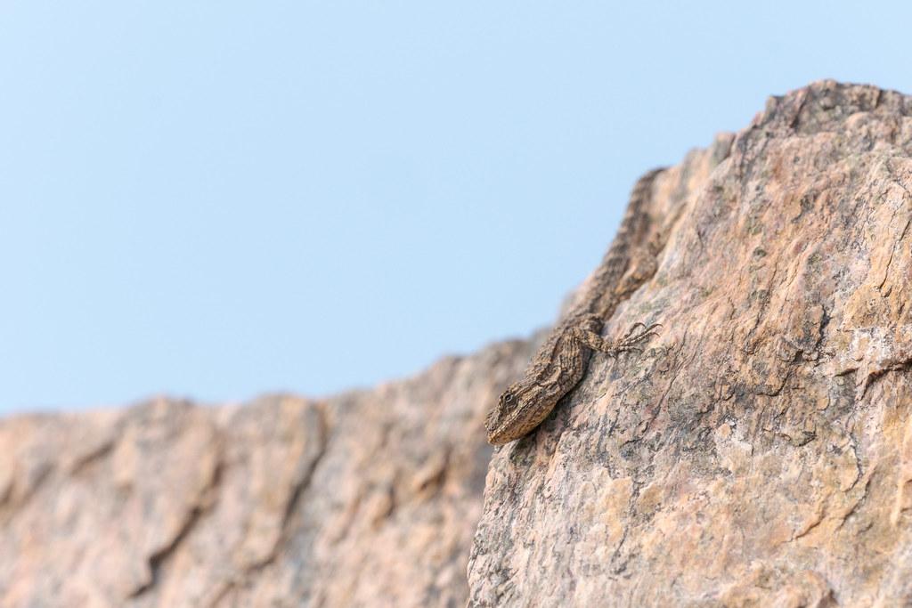 An ornate tree lizard climbs face first down a rock face along the Piestewa Peak Summit Trail in Phoenix Mountains Preserve in Phoenix, Arizona