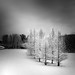 Trees in Snow 2