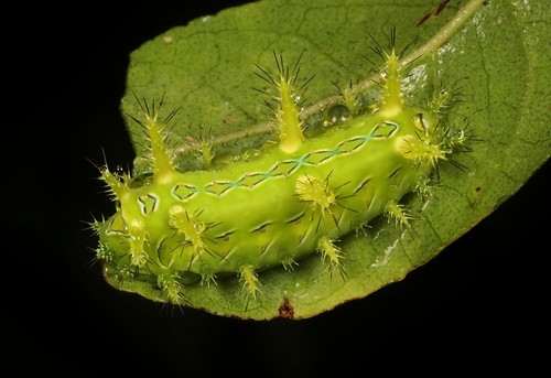 "Stinging Nettle Slug Caterpillar (Cup Moth, Phlossa sp., Limacodidae) ""Chameleon"" 