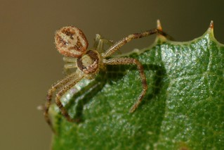 Crab Spider with cryptic colors - genus Xysticus or Ozyptila