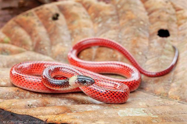 Drepanoides anomalus / Black-collared Snake
