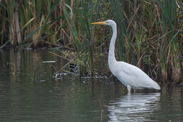 Great White Egret in West Yorkshire