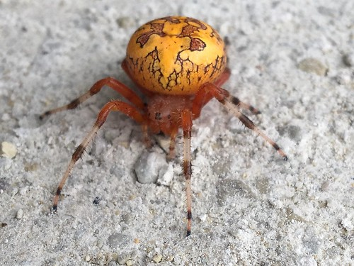 Marbled Orb-Weaver Profile