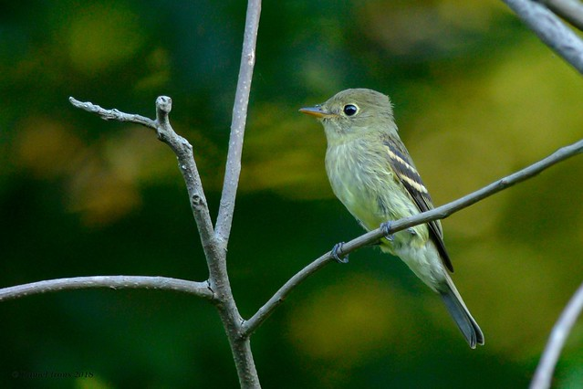 Yellow bellied Flycatcher rare, Nikon D600, AF-S Nikkor 300mm f/4D IF-ED