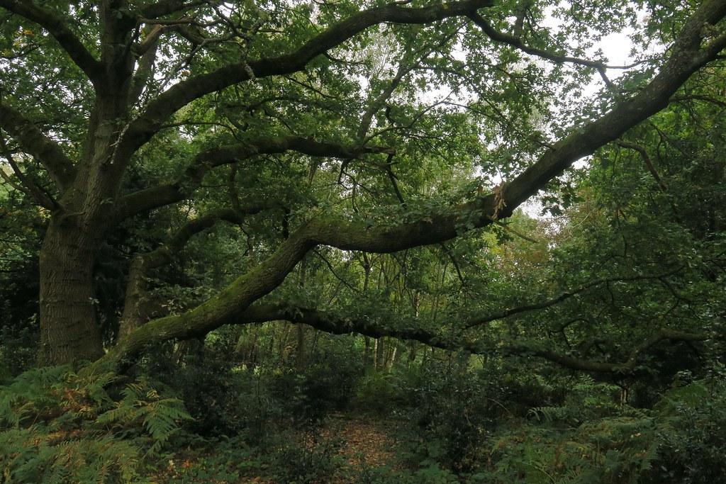 Oxted Circular 21.9.18 tree 1 SWC