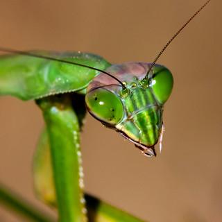 Praying Mantis W / Battle Scars