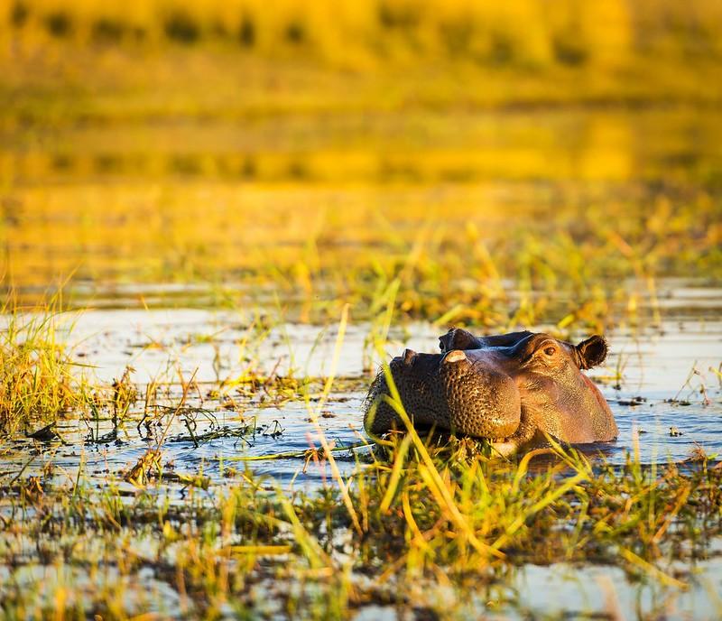 hippopotamus-chobe-river-PZPY34N