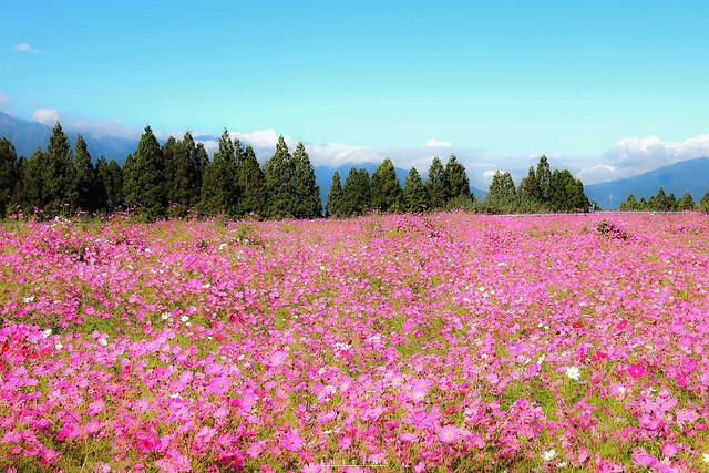 福壽山波斯菊