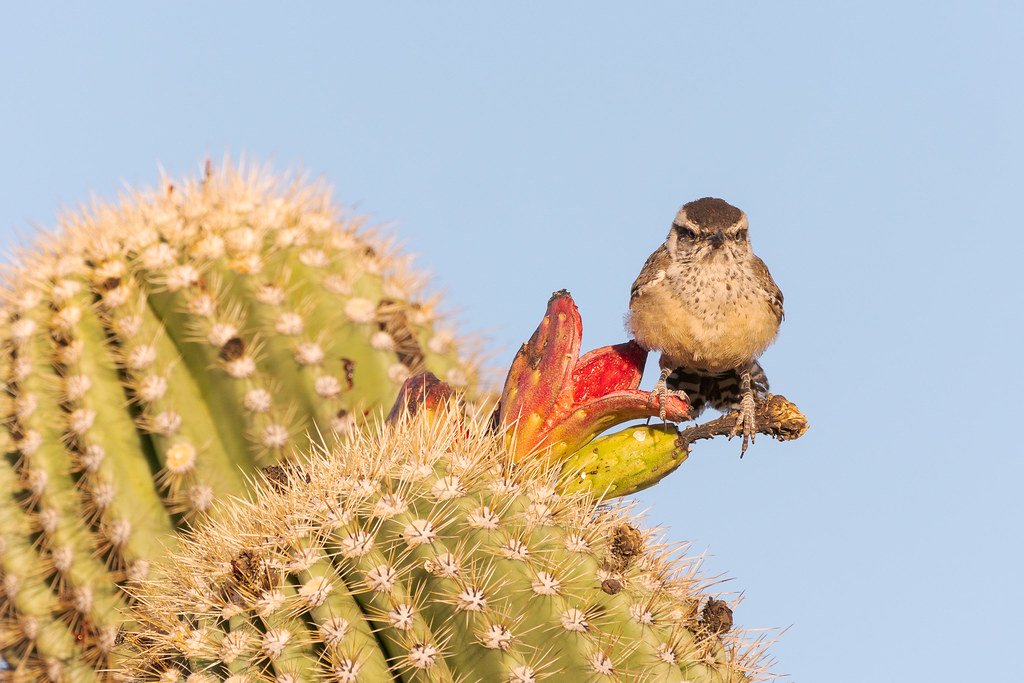 A young cactus wren perches on two fruits on a saguaro where it was born earlier in the year, taken on the Latigo Trail in McDowell Sonoran Preserve
