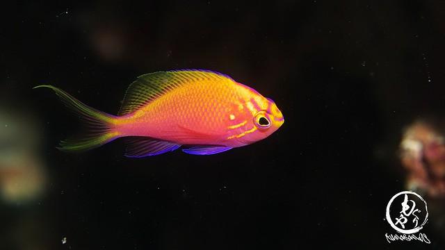 ハナゴンベ幼魚ちゃんはなんやかんやでめちゃキレイw