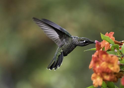 Magnificent Hummingbird (Explored 11-14-18)