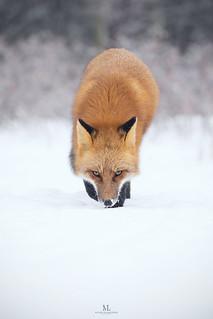 Prédateur en chasse