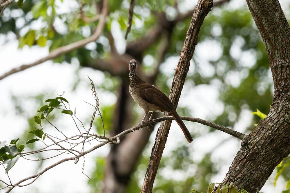 Глазчатая чачалака (Ortalis guttata)