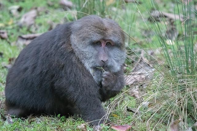 Tibetan Macaque- Trying to look all innocent.