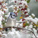 Blue Jay and Crabapples-47408.jpg