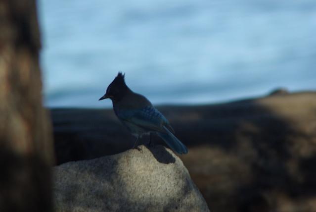 Steller's Jay, lake Tahoe, Pentax K10D, A Series Lens