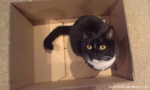 Tue, Aug 21st, 2018 Lost Male Cat - The Walk, Dunboyne, Meath