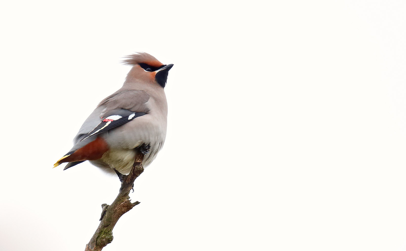 Waxwing - 1st winter