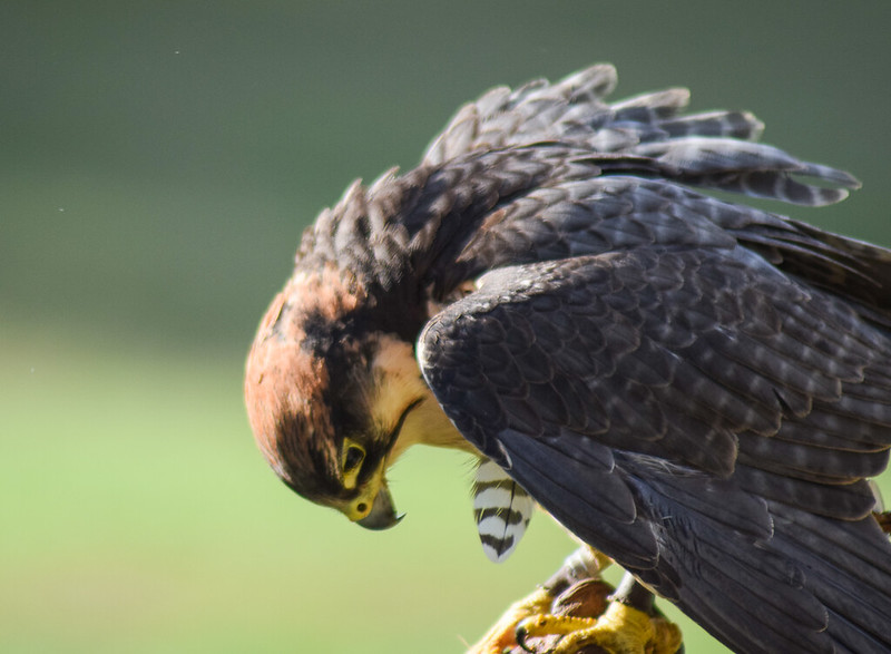 NYM - National Bird of Prey Centre