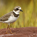 Pluvier semipalmé \ Semipalmated Plover by Alain Daigle