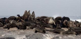 Duiker Island Les otaries du Cap (1)