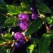 Purple Berries:     293/365