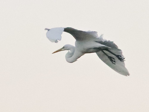 Great Egret descending 01-20181020